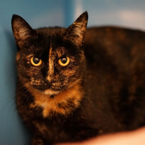 Jackie - Domestic Short Hair Cat