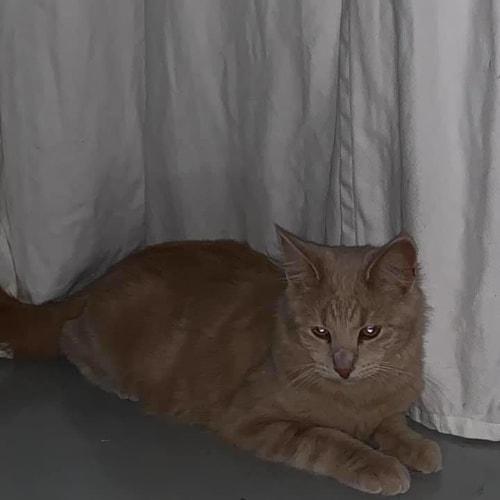Rooney - Domestic Short Hair Cat