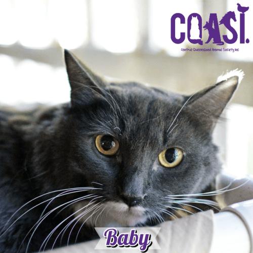 Baby - Ragdoll Cat