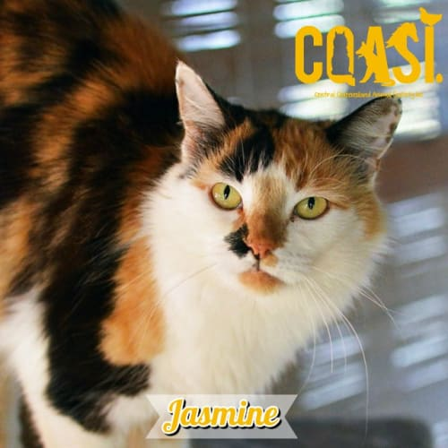 Jasmine - Domestic Medium Hair Cat
