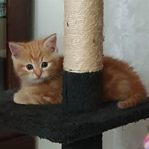 Jax - Domestic Medium Hair Cat