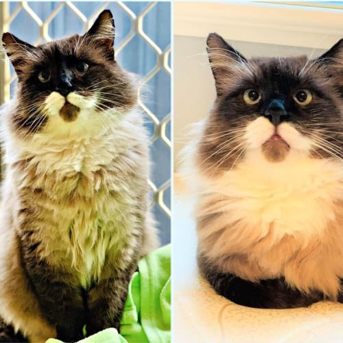 3232 – Buble' - Domestic Long Hair Cat