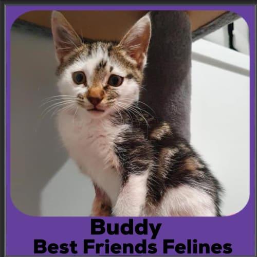 Buddy  - Domestic Short Hair Cat