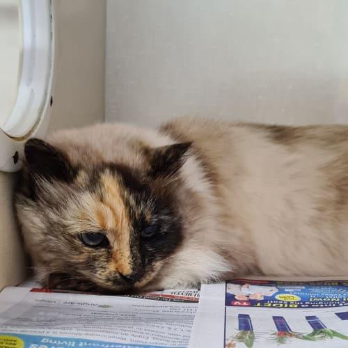 Sophie - Ragdoll Cat