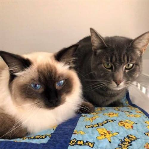 3157/3158 - Ziggy & Millie - Ragdoll Cat