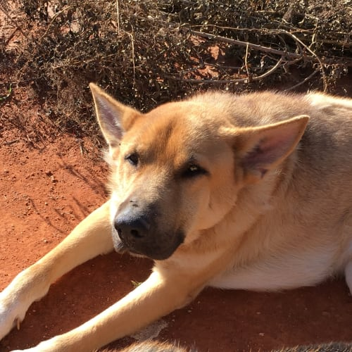Jonathon (bonded with Victoria) - German Shepherd Dog