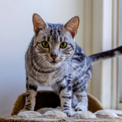 Quinnie - Domestic Short Hair Cat