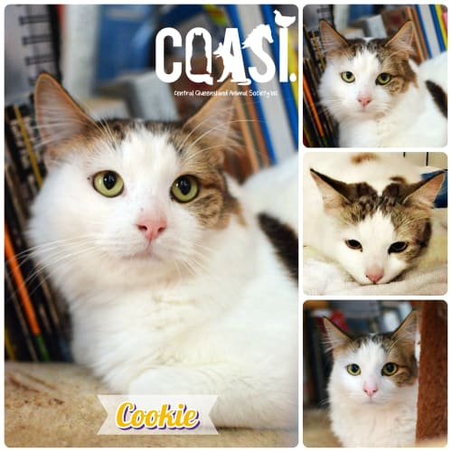 Cookie  - Domestic Short Hair Cat