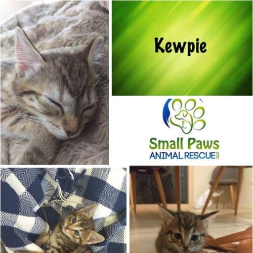 Kewpie - Domestic Short Hair Cat