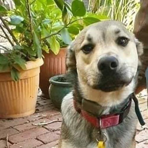 Colin - Huntaway Dog