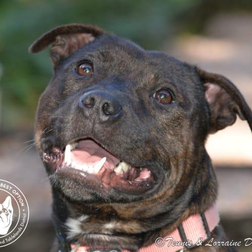 Tonto - Staffordshire Bull Terrier Dog