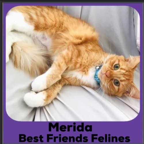 Merida  - Domestic Medium Hair Cat