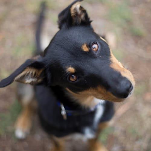 Bentley - Kelpie Dog