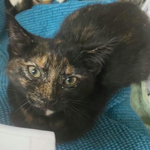 Spick - Domestic Short Hair Cat
