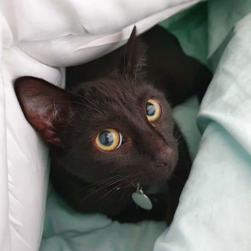 Luna ~ lovely 8mo black cat - Domestic Short Hair Cat