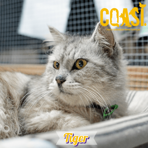 Tiger  - Manx Cat