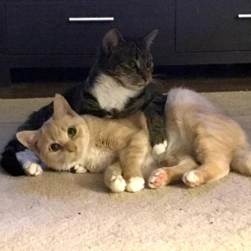 Josie and Shiloh **Adoption Pending** - Domestic Short Hair Cat