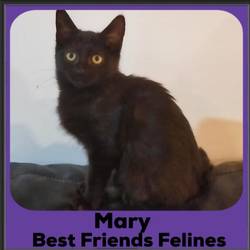 Mary - Domestic Short Hair Cat