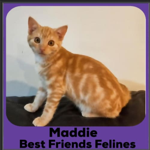 Maddie - Domestic Short Hair Cat
