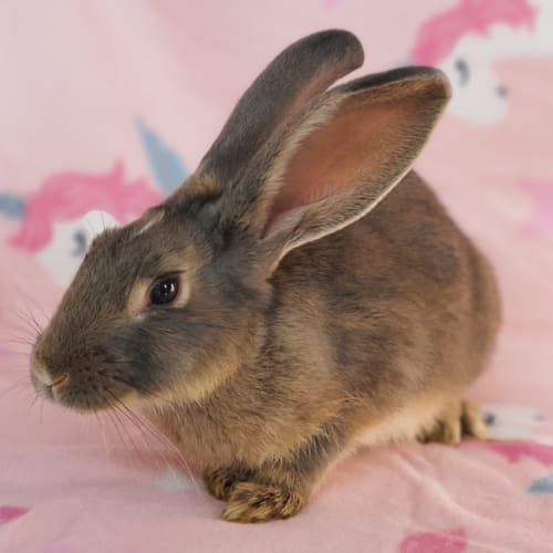 Athena - Flemish Giant Rabbit