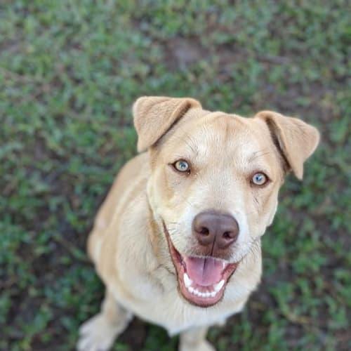 Romeo - Kelpie Dog