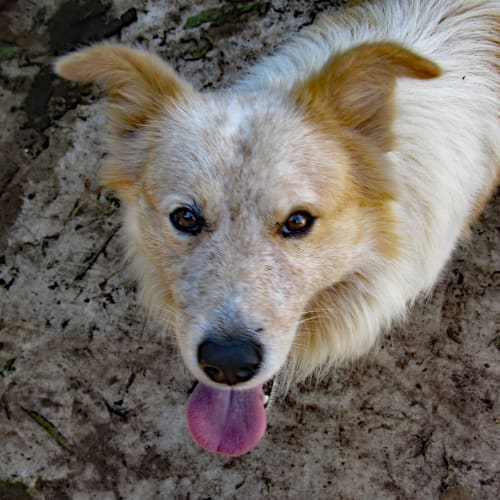 Blue2 - Border Collie Dog
