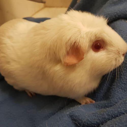 Princess Leah -  Guinea Pig