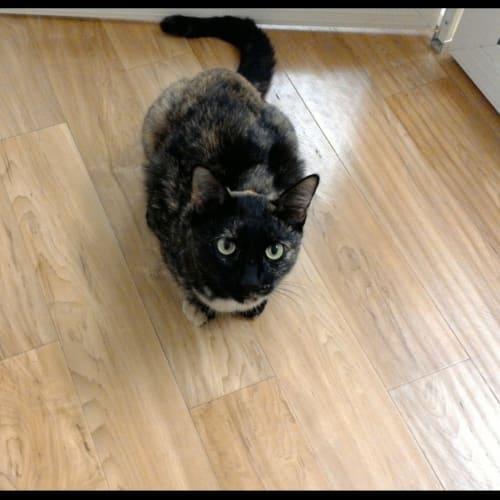 Billie - Domestic Short Hair Cat