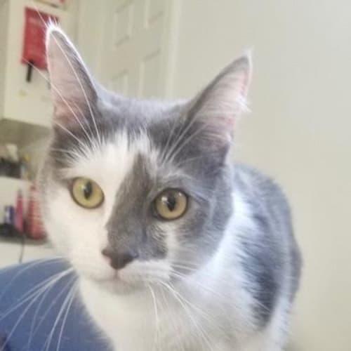 Phoenix ~ 3 year old male cat - Domestic Short Hair Cat