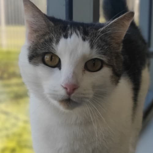 Dolly - Domestic Short Hair Cat