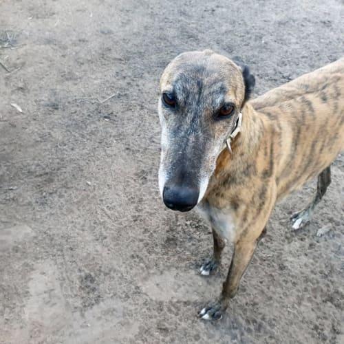Mason - Greyhound Dog