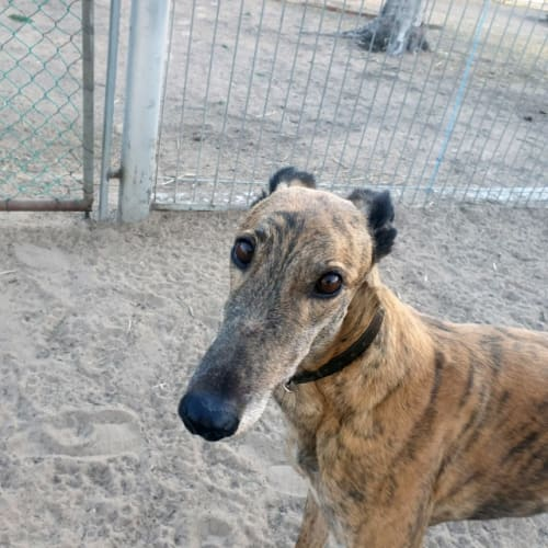 Gal - Greyhound Dog