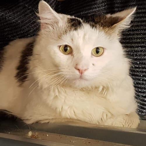 Nemen - Domestic Medium Hair Cat