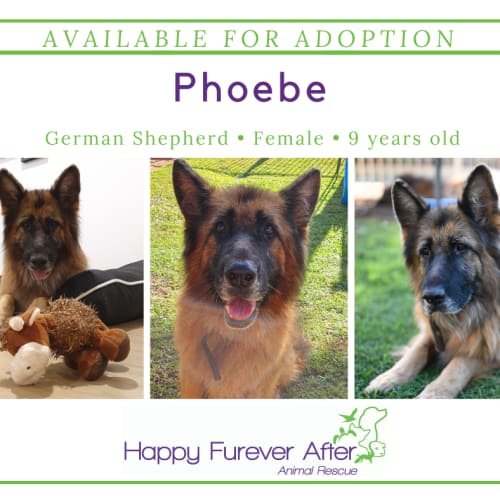 Phoebe  - German Shepherd Dog