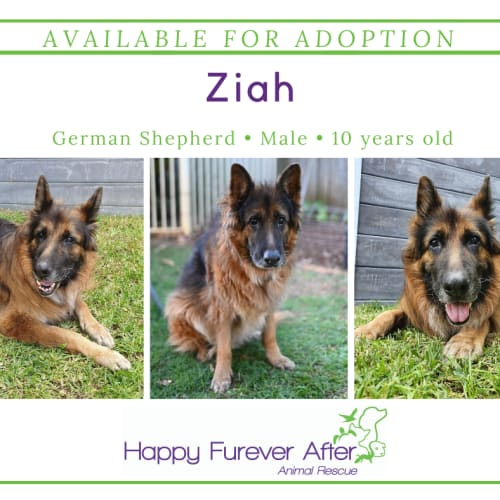 Ziah - German Shepherd Dog