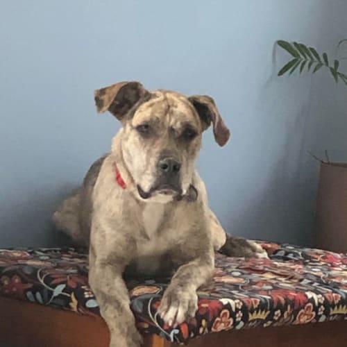 Susie - Irish Wolfhound Dog