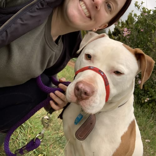 Trevor the Tornado - Foster Carer Needed - American Staffordshire Bull Terrier Dog