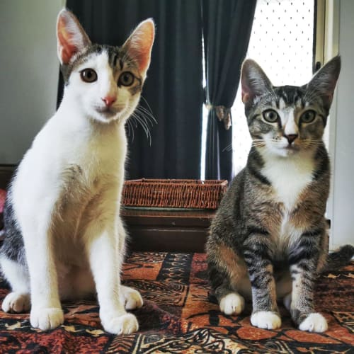 Rodney & Roxanne - Domestic Short Hair Cat