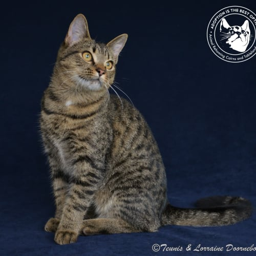 Tarol - Domestic Short Hair Cat