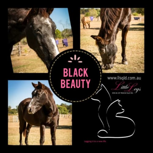 Black Beauty - Horse