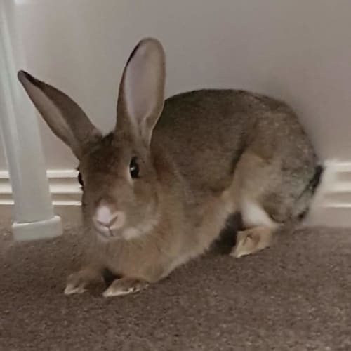 Jemima - Domestic Rabbit
