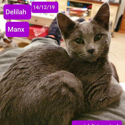 Delilah - Manx Cat