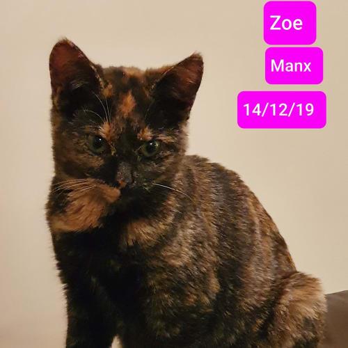 Zoe - Manx Cat