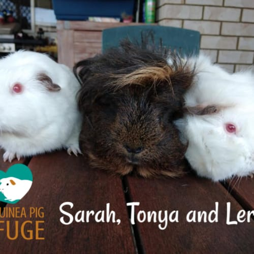 Sarah, Tonya and Leroy (desexed male) Adults only. - Guinea Pig