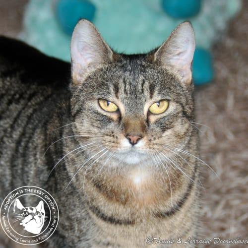 Clui - Domestic Short Hair Cat