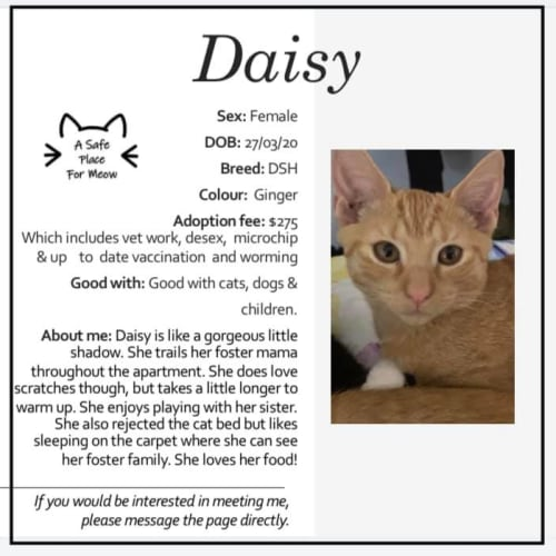 Daisy - Domestic Short Hair Cat