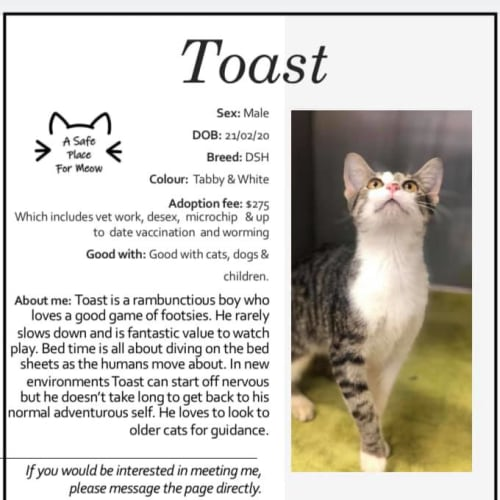 Toast - Domestic Short Hair Cat