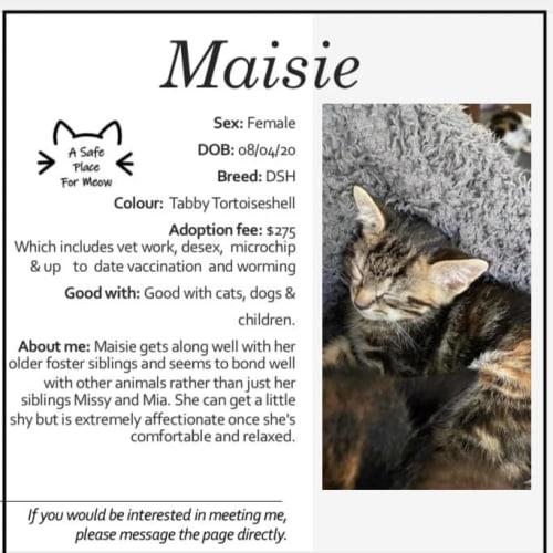 Maisie - Domestic Short Hair Cat