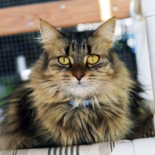 Mumma Lacey - Domestic Long Hair Cat
