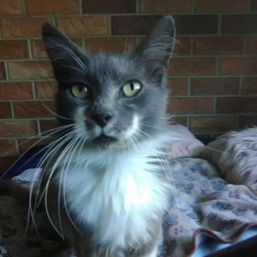 Arius - Domestic Medium Hair Cat